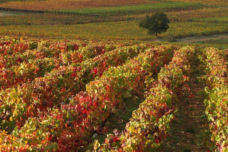Paysage de vignoble à l'automne